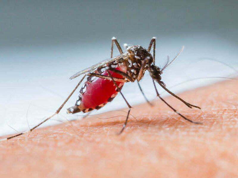 Mosquito del dengue evolucionó y ahora es resistente al frío