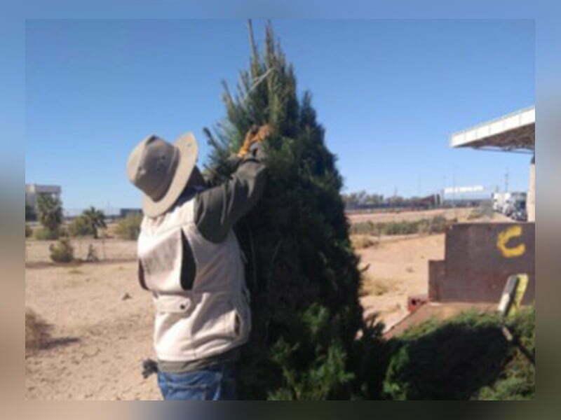 Devuelven a EU más de cuatro mil pinos con plaga